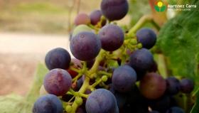Estas vendimias 2019 en Rioja pueden ser un año histórico respecto a calidad de uvas