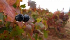 Los viñedos en noviembre, cuidados y tratamientos