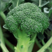 Semillas Brócoli HERAKLION F1