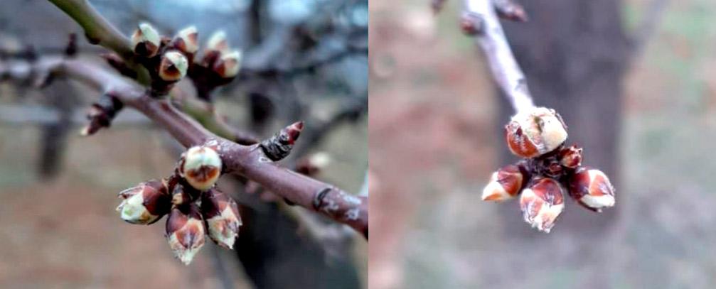 Tratamiento del almendro en prefloración en La Rioja