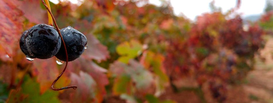 Abonado post-cosecha en viñedo