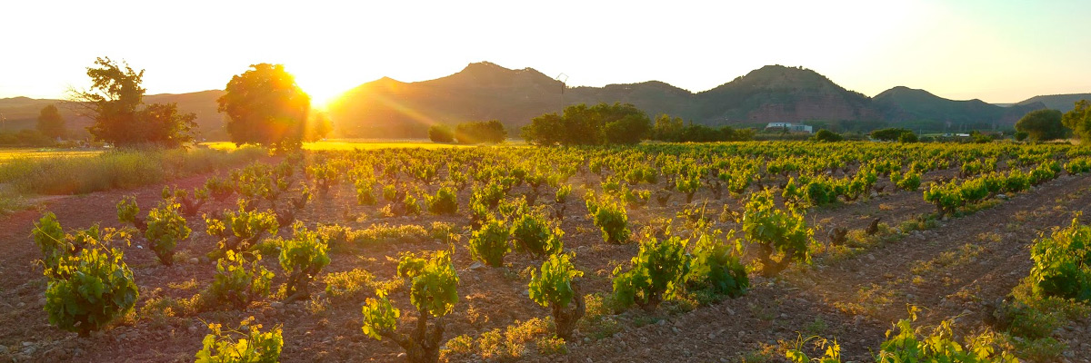 Viñedos de La Rioja en floración. Ola de Calor